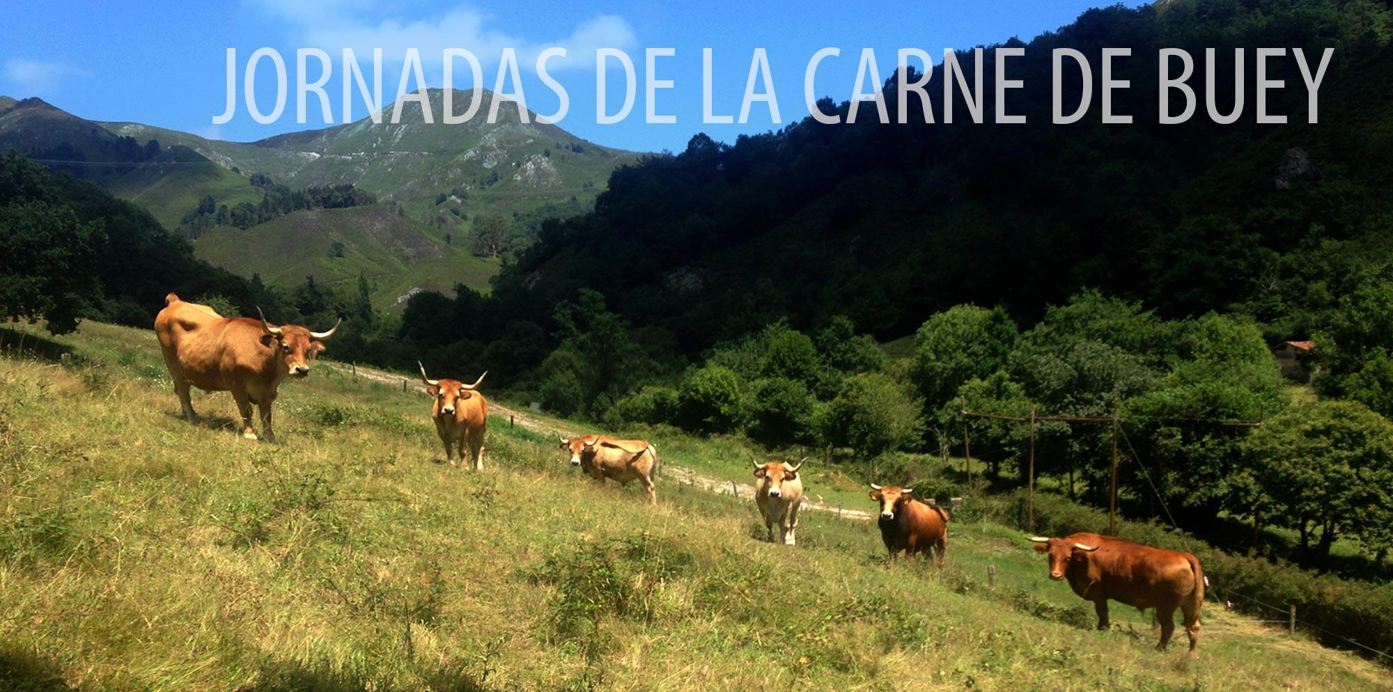 jornadas de la carne de buey en la llariega, imagen de bueyes en el campo
